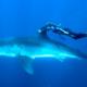 Video: Mujer bucea agarrada 'por amor' a la aleta de un enorme tiburón blanco en Hawái