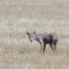 QUE dicen Ustedes DE esto Misterio de Oklahoma: ¿'chupacabras' o coyote enfermo?