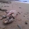 Que Raro es esta vaina /Hallado el cadáver de una extraña criatura en las costas de EE.UU