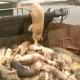 China: aumentan a seis mil los cerdos muertos hallados en un río