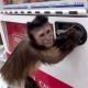 VIDEO GRACIOSO Este monito compra su propia vevida con su propio dinero