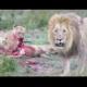 Video LEones comiendo carne Rara