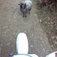 VIDEO Que lucha coje este con un maldito ovejo motando su moto