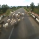 VIDEO Diablo solo miren este tiene que condenace Horrible: Truck Driver Runs Over Herd Of Goats & Doesn't Stop! (*Warning*