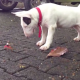 Video - Miren este perro matandoce con un cangrejo :Bull Terrier Battles A Crab