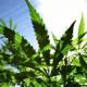 Donde tan lo que Fuman lleiva? Uruguay importará semillas de marihuana tras su legalización