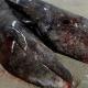 Video: Hallan en la costa mexicana las primeras ballenas grises siamesas