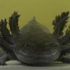 Este pez llamado Ajolotes, otra especie en peligro de extinción en el planeta