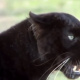 VIDEO Este animal si es ravioso el diablo Stunning Animal Communicator Heals Angry Black Panther!