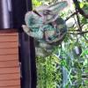 Video Cuando un camalion ataca miren eso el diablo When Chameleons Attack!