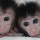 En China nacen monos OGM, los humanos podrían ser los siguientes