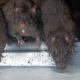 Ratas gigantes podrían invadir el planeta por efecto del hombre y la evolución