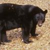 Una mujer de 81 años es detenida por alimentar osos en su patio en EEUU