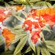 El mapa mundial de la marihuana: el cannabis 'va sembrando' leyes
