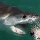 Un tiburón habría atacado y deborado a una mujer en Australia muy fuerte