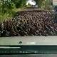 VIDEO Jama en sus vidas veran tanto patos como aqui miren todo Street Flooded With Thousands Of Ducks
