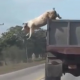 VIDEO Miren este cerdo puerto lo que haces desde un camion Smart Pig Makes A Daring Escape From A Moving Truck