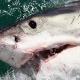 Un tiburón de una tonelada se dirige a la costa de Texas increible miren este monstruo
