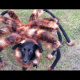 VIDEO IMPRECIONANTE UN PERRO PARECIDO A UNA ARANA MIREN Giant Spider Dog (SA Wardega)