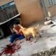 VIDEO impactante un perro Pitbull matando un hombre y nadie ases nada
