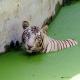 VIDEO Fuerte Un tigre blanco mata a un visitante en un zoo de la India