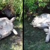 Henorme tortuga Giant Tortoise Rescues Overturned Friend