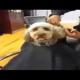 VIDEO Recortando un perro RIANCE Dog Sits On Salon Chair Like A Human As Hairstylist Cuts His Hair!