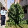Perú: Una gran planta de marihuana crece en el centro de una ciudad