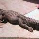 Autoridades incautan un caimán que una familia tuvo de mascota durante 37 años