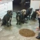 Que gracioso miren este video Little Girl Has Complete Control Over 6 Hungry Pitbulls!