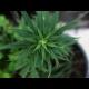 Alaska, el tercer estado de EE.UU. en legalizar el consumo de marihuana