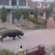 VIDEO Rinoceronte casi mata un Hombre Raw Footage: Giant Rhino Chases Motorcycles