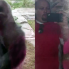 VIDEO Este Gorilla casi mata una mujer Silverback Gorilla Charges And Cracks Safety Glass