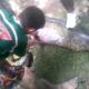VIDEO Anaconda Se come vivo un perro Gets Split Open For Eating Owner's Pit Bull!