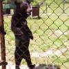 Video Oso caminando como si fuera Humano Creepy Walking Black Bear