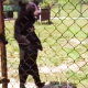 Video Oso caminando como si fuera Humano Creepy Walking Black Bear