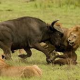 Video Pobre animal desangrandoce Lion vs. Buffalo (Both Later Die From Their Wounds)