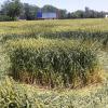 Video: Aparecen unos misteriosos círculos perfectos en un trigal del sur de Rusia