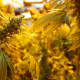Estudio genético detecta conexión entre consumo de marihuana y esquizofrenia