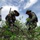 Evo Morales inaugura tareas de erradicación de hoja de #coca excedentaria en #Bolivia