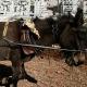 Los burros-terrorista, nueva táctica de Hamás! esto es increible burrros esplotando