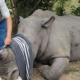 Los cuernos del Rinocerontes más caros que el oro (Abuso Animal